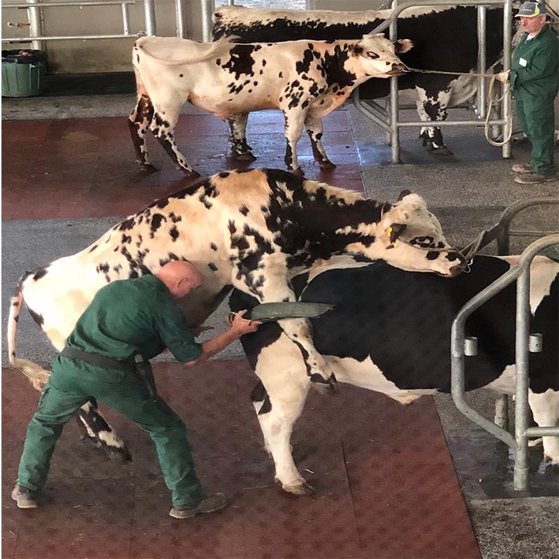 Image_cattle_genetic_imrovement